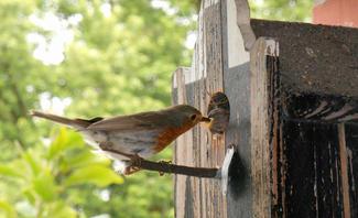 Rotkehlchen füttert Jungvogel