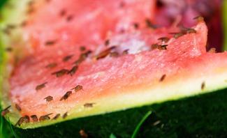 Obstfliegen loswerden