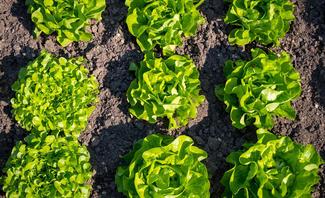 Salat im Beet