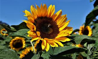 Sonnenblumen pflanzen, säen und ernten