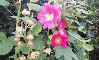 Stockrosen vermehren