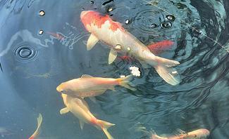 Fische im Teich machen den Garten lebendiger.
