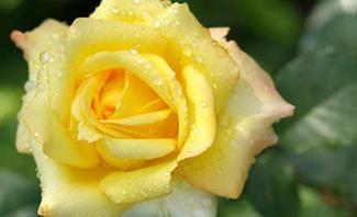 So schön können wurzelnackte Rosen blühen.