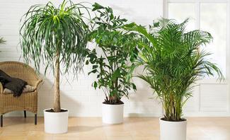 Gummibaum und andere Grünpflanzen