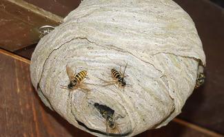 Massenhaft Wespen wegen der Hitze