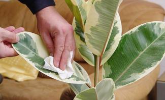 Auch nach dem Winter sollten Sie den Staub behutsam von den Blättern wischen.