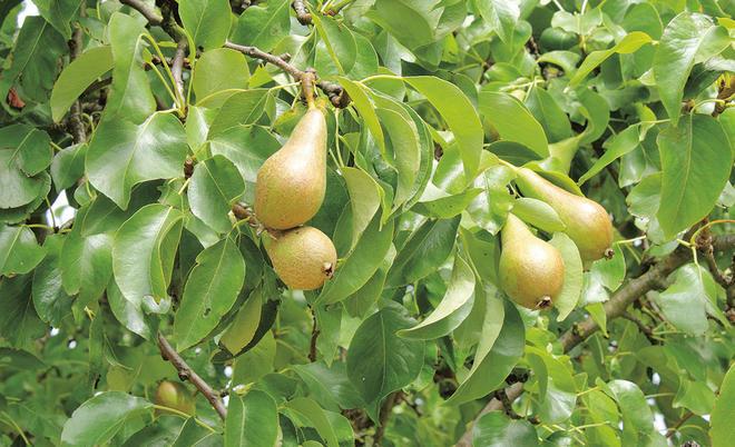 Birnbaum Schneiden Selbst De