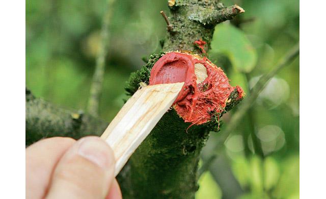 jungen apfelbaum schneiden