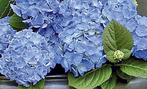 Hortenise pflanzen