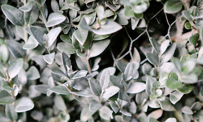 Eine weiße Schicht Algenkalk auf den Blättern des Buchsbaums