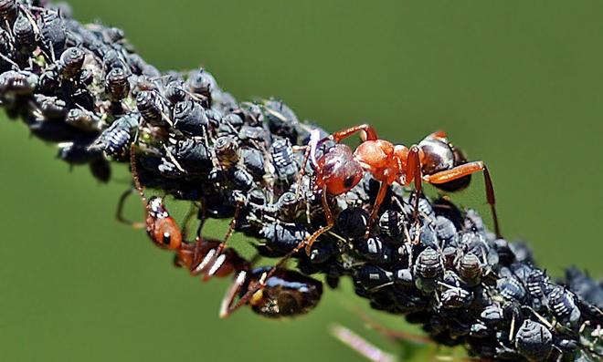 Ameisen mit Blattläusen