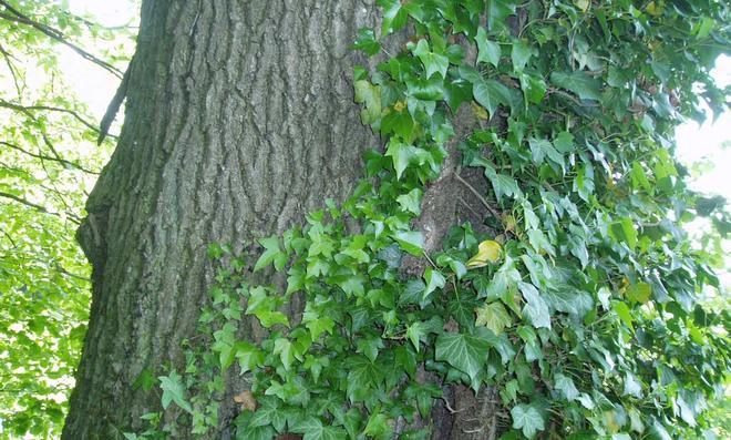 Efeu an einem Baum