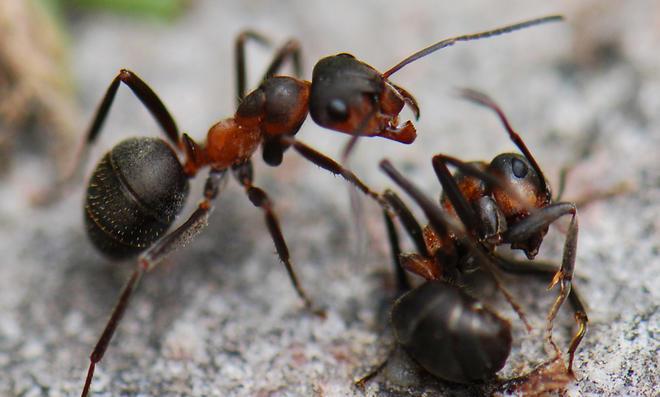 Ameisen vernichten