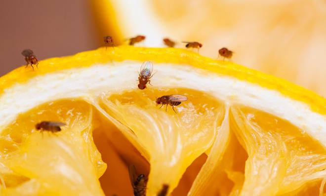 Fruchtfliegen auf Frucht