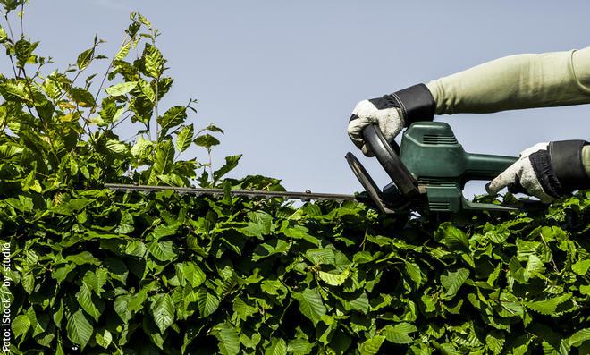 Beim Rückschnitt von Hecken sammelt sich viel Grünschnitt an. Wo kann man den entsorgen?