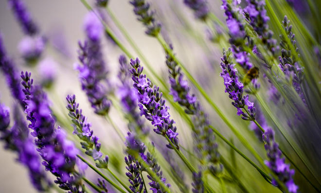 Lavendel Sorten