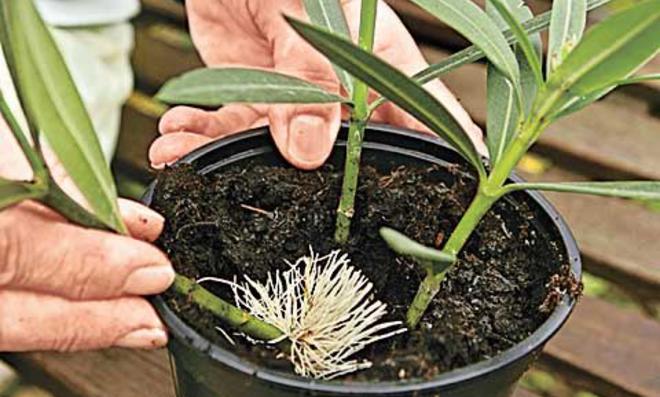 Oleander vermehren