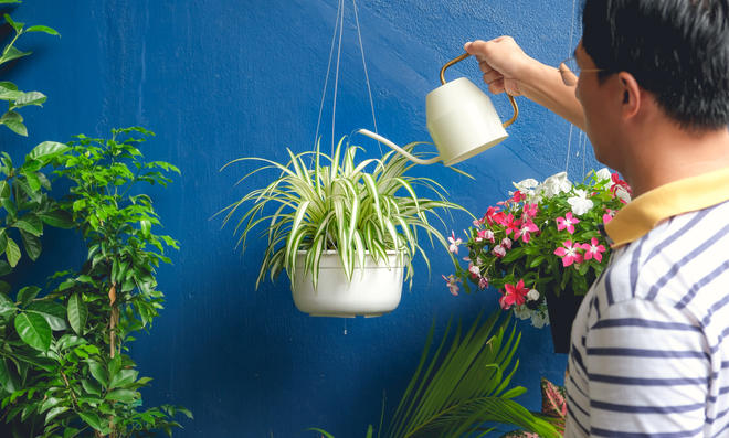 Grünlilie gießen