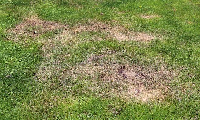 Verbrannter Rasen nach Kalkstickstoffgabe