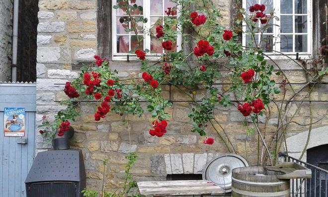 Rote Kletterrosen an einer Hauswand