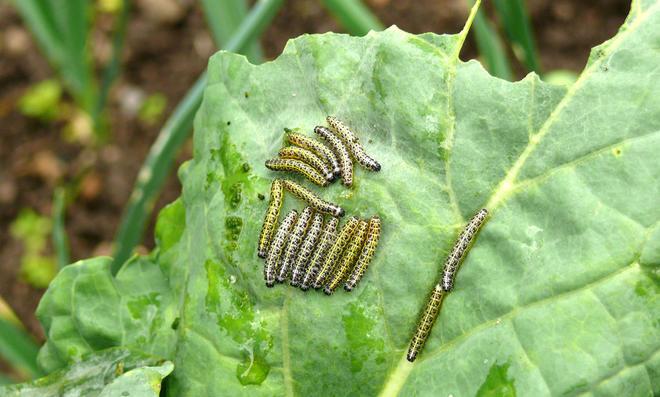 Kohlweißling-Raupen auf Kohlblatt