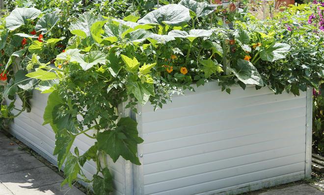 Melonen pflanzen