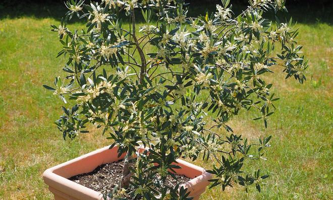 Olivenbaum im Kübel