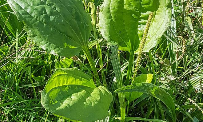 Breitwegerich als Zeigerpflanze für verdichteten Boden