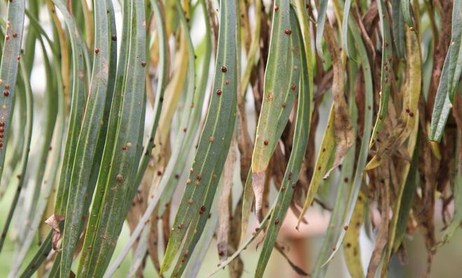 Schildläuse an Blättern
