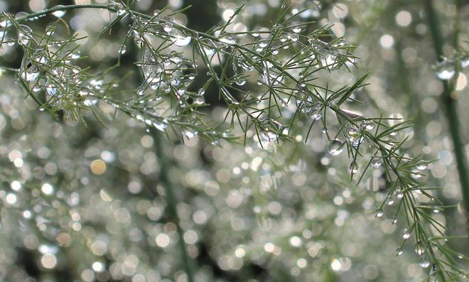 Spargel pflanzen