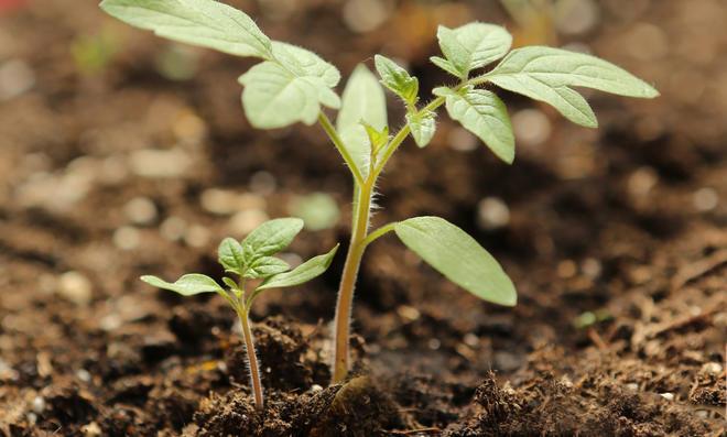Tomatenpflanze Sämling