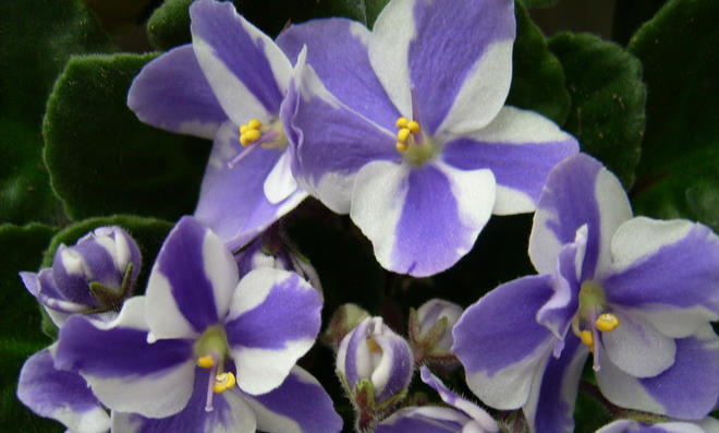 Zweifarbiges Usambaraveilchen: Weiß und violett