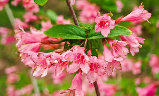 Weigelien-Blüten