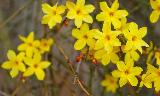 Gelbe Blüten von Winterjasmin