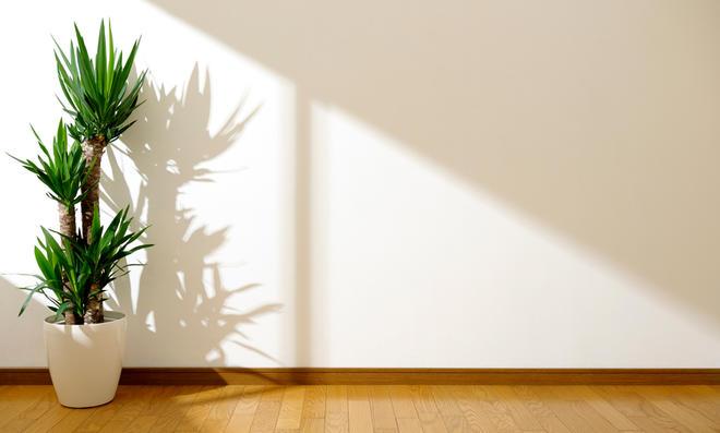 Yuccapalme gießen