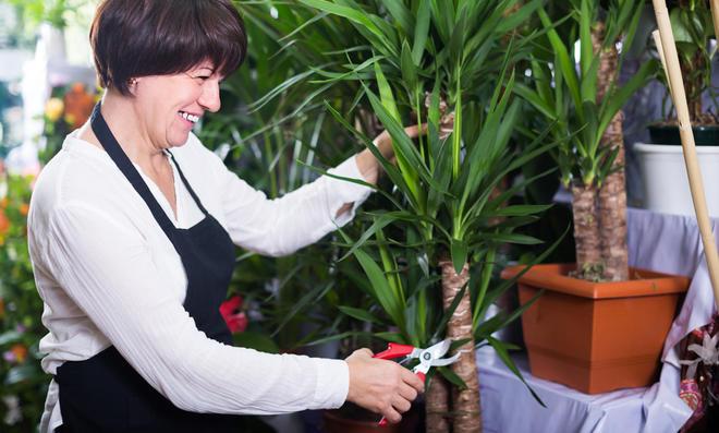 Yuccapalme schneiden