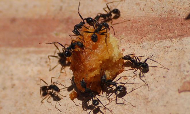 Mehrere Ameisen tragen Futter weg