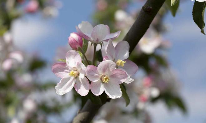 Apfelbaum-Zweig mit blühenden Blüten