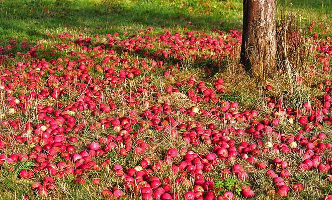 Apfelwickler bekämpfen