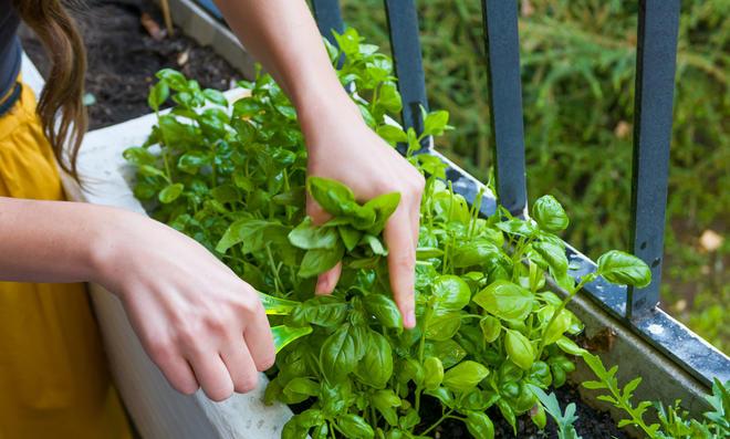 Bei der Ernte von Basilikum sollten Sie die Blätter nicht abzupfen.