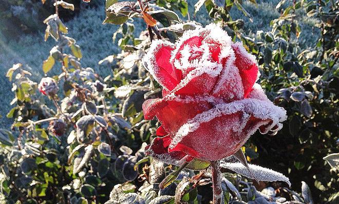 Frostschutz für Rosen