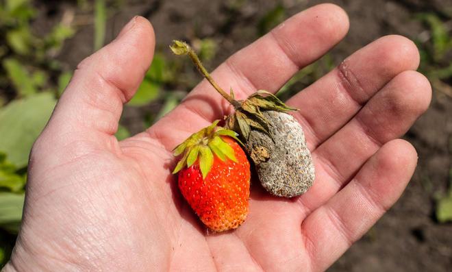 Verschimmelte Erdbeeren