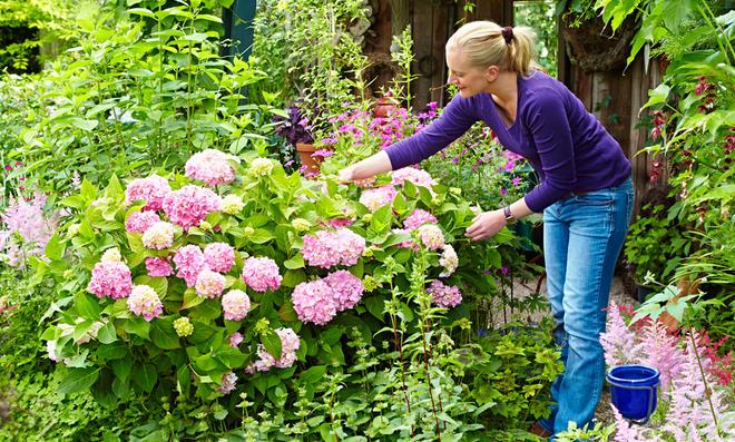 Hortensien-Erde für böaue Blüten