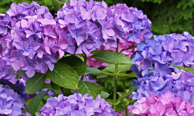 Hortensien blühen mit dem richtigen Dünger in den schönsten Farben.