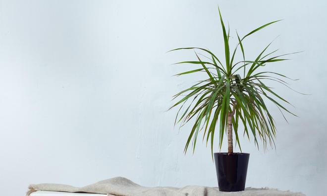 Drachenbaum pflegen, schneiden & vermehren