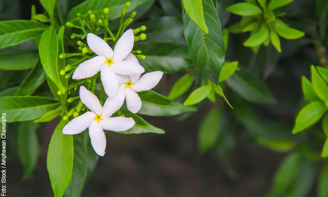 Jasmin pflanzen