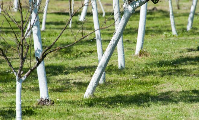 Bäume mit weißem Kalkanstrich