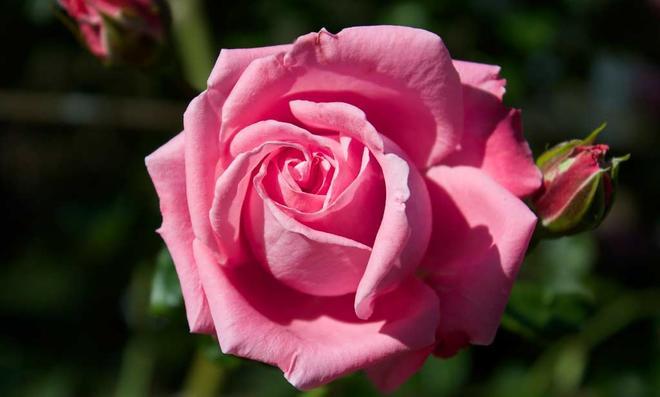 Pinke Kletterrosenblüte