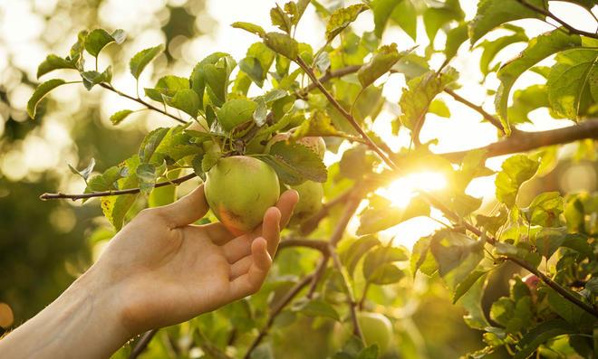 Obstbaum ernten