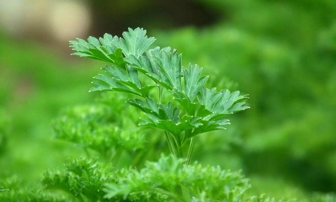Petersilie Pflanzen